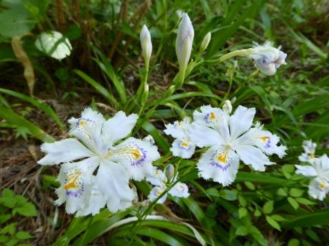 「シャガ」の花が満開です