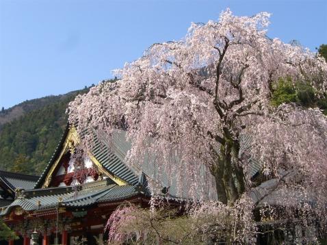 桜の開花はいつ?