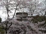 桜(2本)が8部咲で見ごろです!